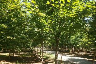 美国红枫种植基地