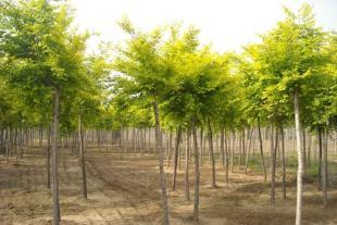 国槐苗种植