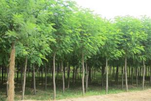 国槐苗种植基地