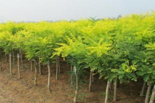 菏泽国槐苗种植