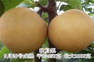 秋月梨苗价格