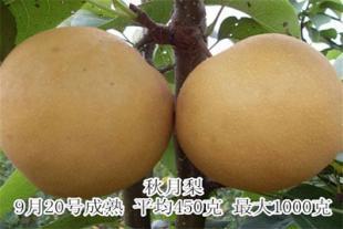 秋月梨苗销售