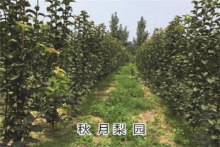秋月梨苗种植基地