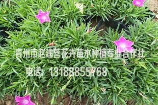 青州欧石竹种植基地