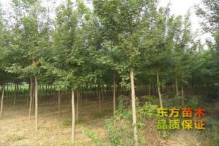 山东绿化苗种植基地