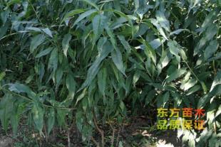 桃树苗种植批发基地