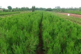 侧柏苗种植基地