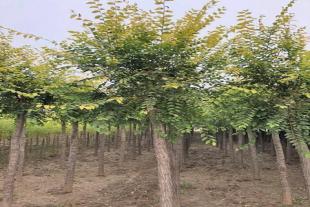 青州乔灌木种植基地