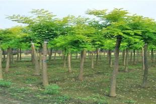 青州绿化苗木种植基地