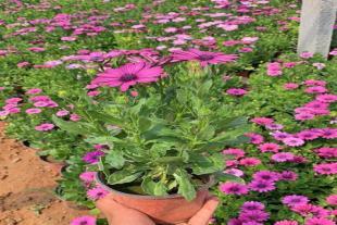 青州宿根花卉种植基地