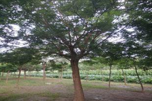 速生国槐种植基地