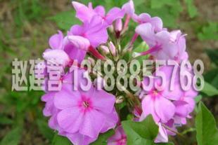 宿根花卉苗木价格