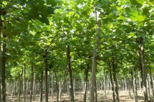 法桐苗种植基地