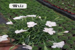 雪山欧石竹种植