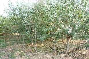 山东果苗种植