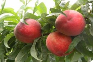 山东桃树苗繁育