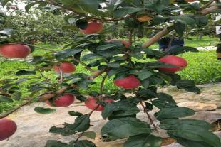 山东苹果苗繁育