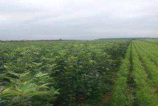 山东苹果苗种植