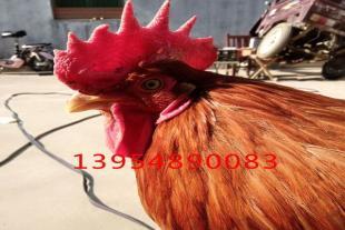 红玉公鸡苗售卖厂家