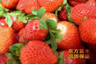 草莓苗种植批发基地