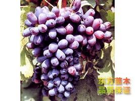 葡萄苗种植批发基地