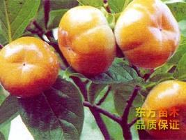 柿子苗种植批发基地