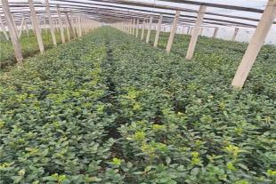 绿化苗木批发价格