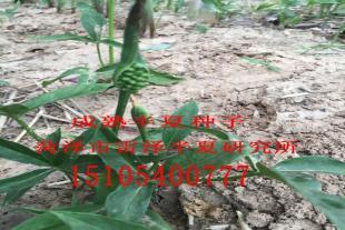 山东半夏种茎培育基地
