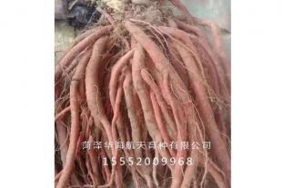 山东航天丹参种苗厂家