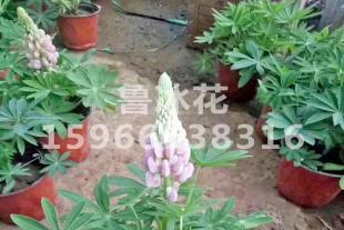 青州草花供应商