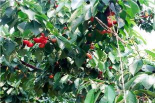 吉塞拉矮化樱桃苗商家