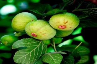 青皮无花果树品种